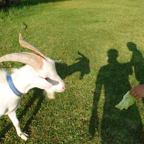ヤギに餌やり